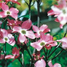 Blütensträucher