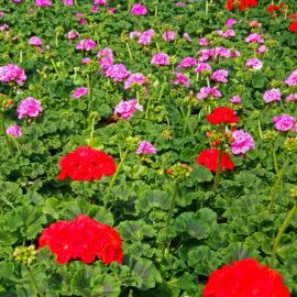 Sommerblumen (18)