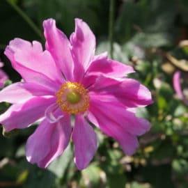 Blütenstauden