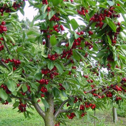 Obstgehoelze