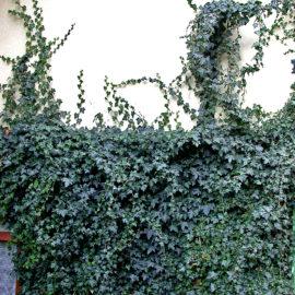 schlingpflanzen-12