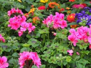 Sommerblumenverkauf